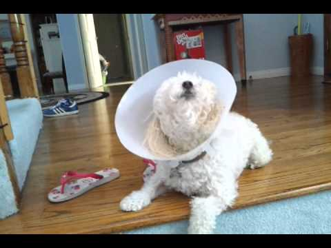 Dog Singing After Surgery