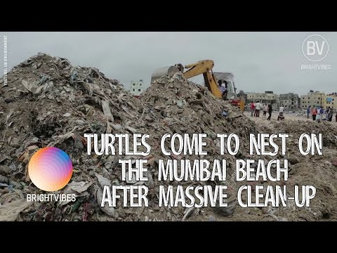 Sea turtles return to nest again on this once trashed beach in Mumbai