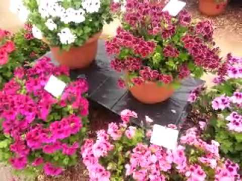 Dandy Ivy Geraniums & Aristo Regal Geraniums