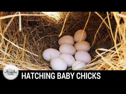 BABY CHICKS HATCH:  Our First Hatching