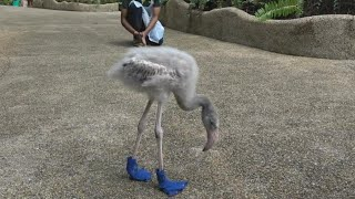 Watch 2-Month-Old Flamingo Strut His Stuff In Custom-Made Booties