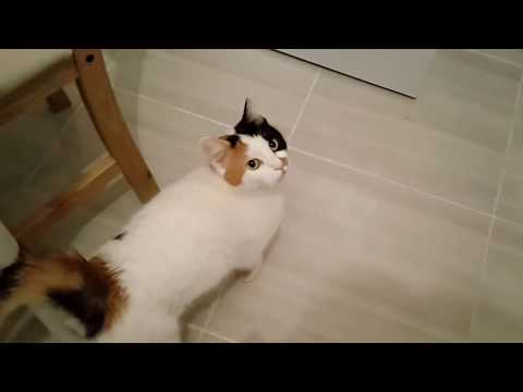 Female cat in heat meows to male outside