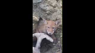 May 28, 2015, coyote rescue