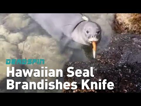 Hawaiian Seal Brandishes Knife
