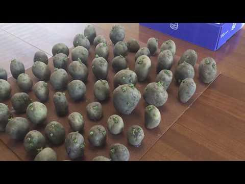 Chitting Potatoes with hot glue