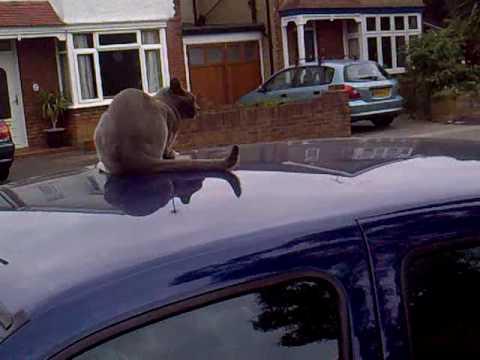 cat won't get off car