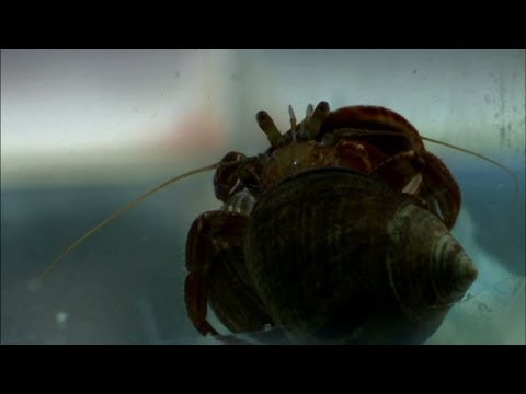 Crabs fight for a bigger shell - The Secret Life of Rock Pools - Preview - BBC Four
