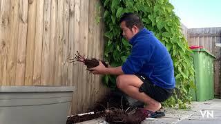Harvesting Purple Yam (ube)