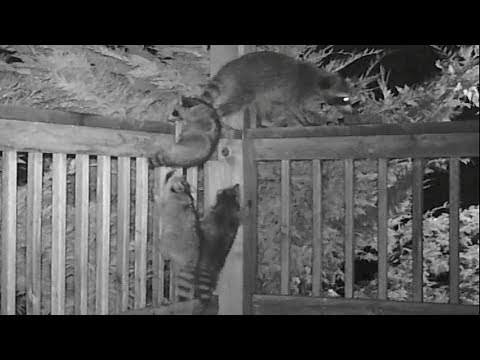 Cute Raccoon Kittens Exploring With Mom