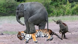 OMG! Mother Elephant Rescue Her Baby From Tiger – Buffalo Take Down Wild Dogs, Hyenas, Tiger