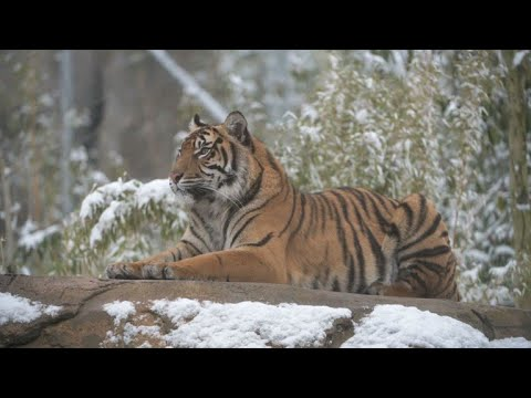 Chester zoo animals enjoy snow as Europe faces icy weather