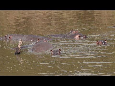 Hippos and the Mara River