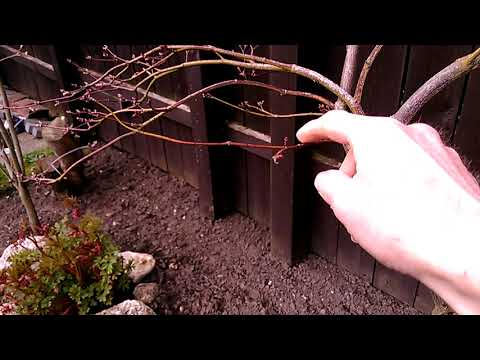 Japanese Maple Dissectum - Pruning And Shaping (part 1)