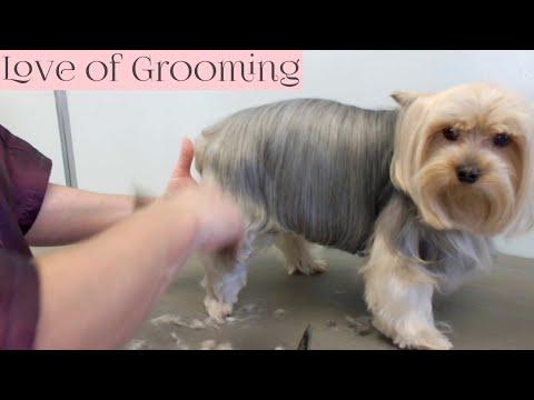 Yorkie Pet Grooming