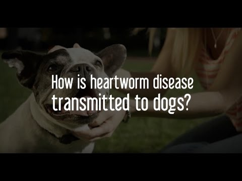 How do dogs get heartworm disease?