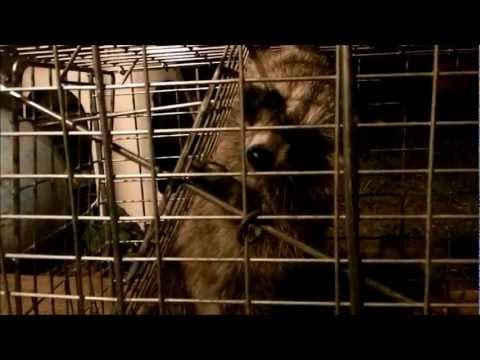 Baby raccoon got trapped!