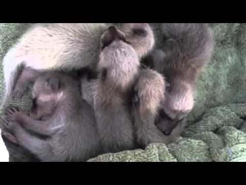Baby Raccoons  with the sounds they make