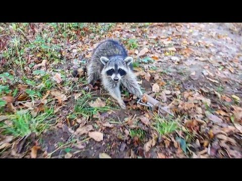 How To Trap Raccoons: Traps, Bait, Location and MORE!!!