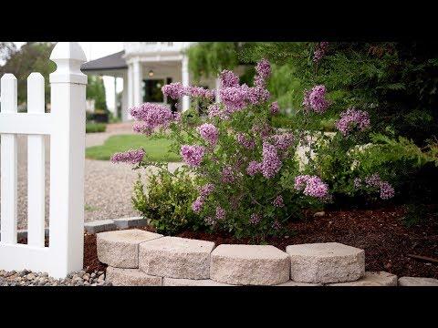 Bloomerang Lilac Update! 💜👍🌿 // Garden Answer