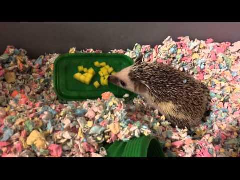 Hedgehog smells fried chicken