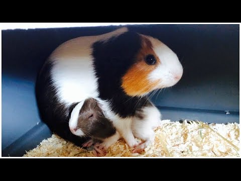 What to Do If Your Guinea Pig Had Babies