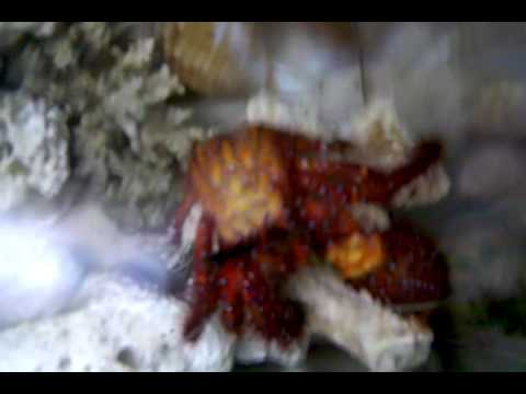 Marine Hermit Crab OUT of his Shell!