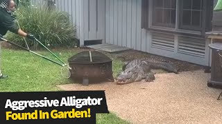Family find 'aggressive' alligator lurking in their garden