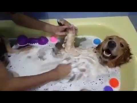 Soothing bath for a pregnant dog