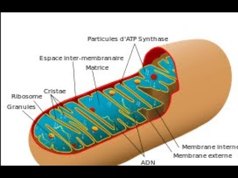 Propionyl L Carnitine Amino Acid Natural Treatment for Erectile Dysfunction