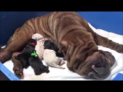 Xxx Mp4 Shar Pei Parto En Vivo Nacimiento Cachorros Azules Www Sharpei Es Childbirth Dogs Puppys 3gp Sex