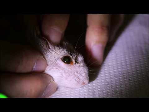 Final Video: A dwarf hamster keeps rubbing his right eye for the past 6 months - corneal ulcers