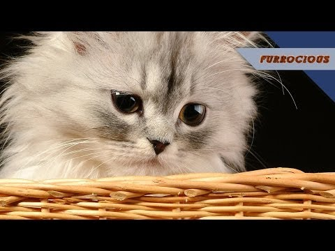 Mike Falzone Fears Persian Cats