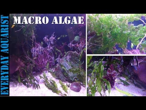 How To Grow Marine Macro Algae | Planted Saltwater Aquarium
