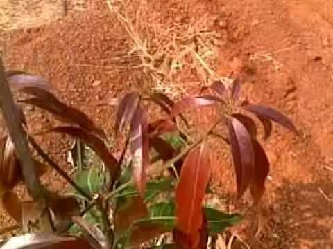Mango UHD Pruning.mp4