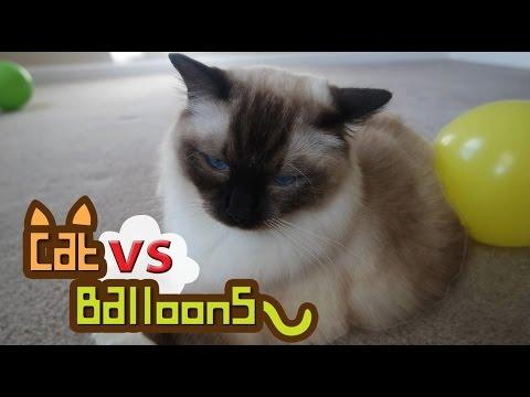 WATCH : Cat VS Balloons