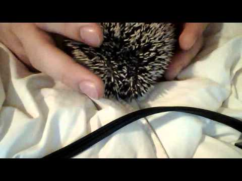 How to take care of a pet hedgehog