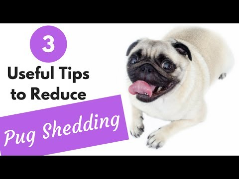 How to Reduce Pug Shedding