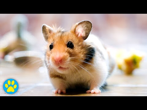 Blindness In Hamsters (Care Tips)