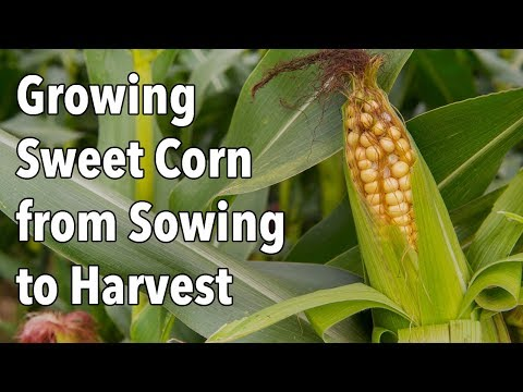 Growing Sweet Corn from Sowing to Harvest