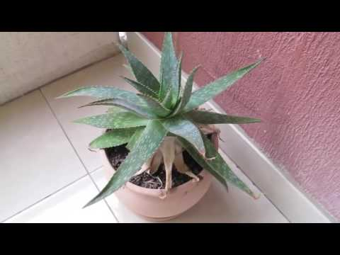 How To Apply Aloe Vera On Face For Acne Scars   Aloe Vera Gel For Face 3 Tips mp4