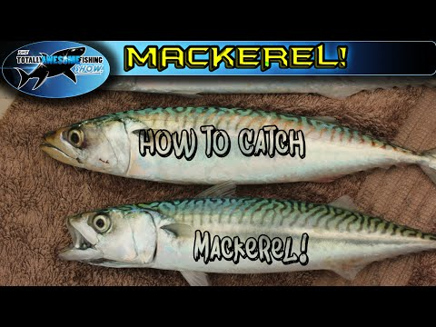 How to catch Mackerel   TAFishing