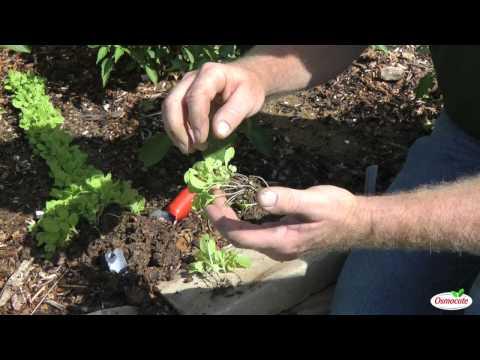How To Transplant Napa Cabbage