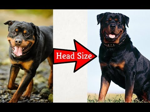 How you can increase head size of your dog by Dr. Furqan Arif