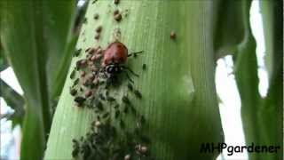 Beneficial Insects in Action - Ladybugs and Parasitic Wasps