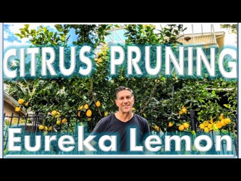 Eureka Lemon Pruning Tips by IV Organic 3-in-1 Plant Guard