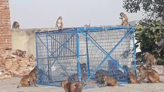 Racer Pigeons In Gola Kabootar Market Karachi - Price