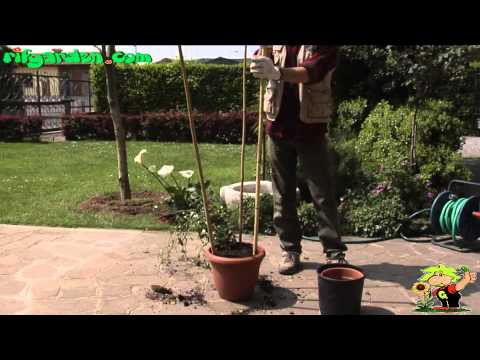 Growing potted climbing plants