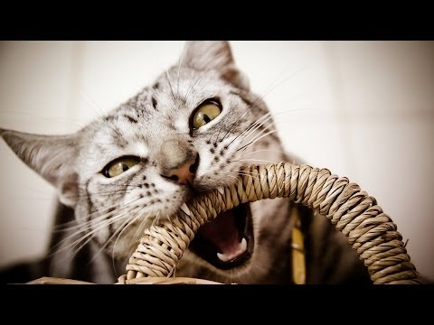 How to Deal with Tail Biting | Cat Care