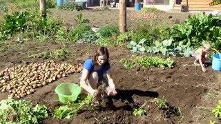 Семья Бровченко. Сбор картошки и уборка урожая (часть 1) (09.15г.)