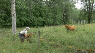 Cow Comes Charging At Me - Caught Her Calf